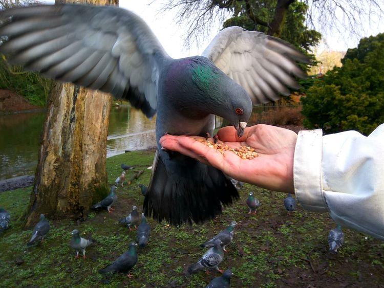 Pigeon Bird  Flight Wings