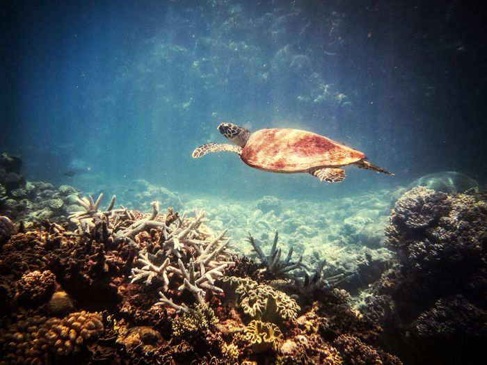 Saw this little fella Snorkeling Low Isles Portdouglas Greatbarrierreef Turtles