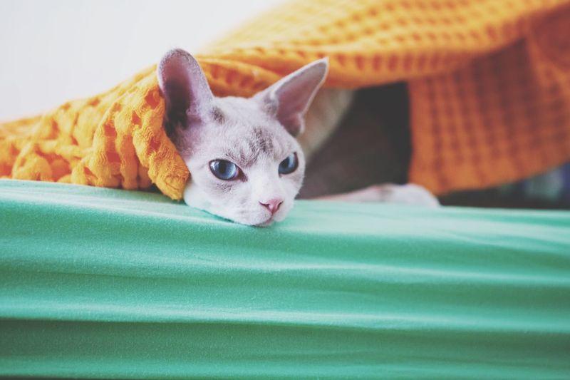 That look Devon Rex Cat Enjoying Life