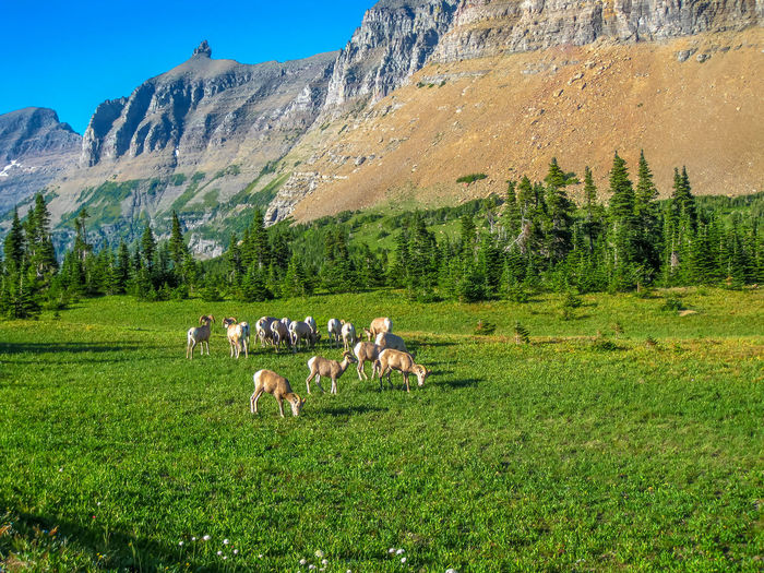 Cows grazing on field against mountains