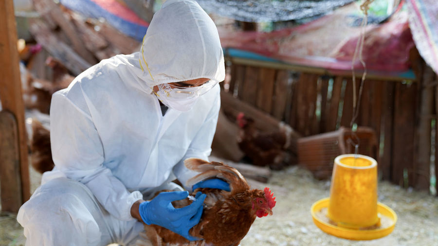 Veterinarians wear ppe clothing to vaccinate with chicken flu virus, veterinary medicine.