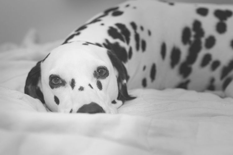 Close-Up Portrait Of Dog On Bed At Home