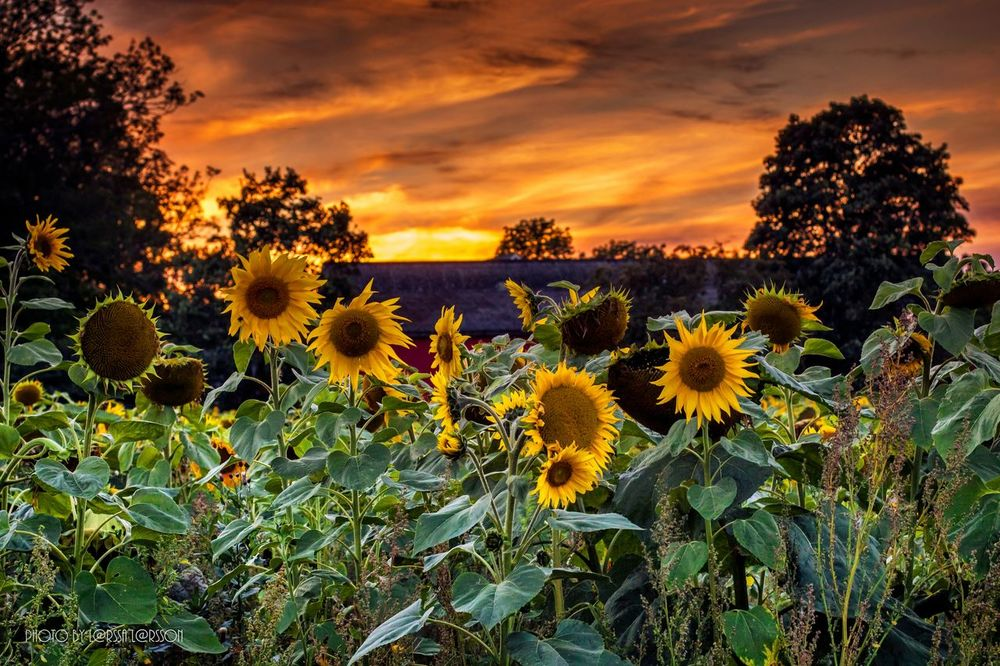Sunflowers in the sunset Sunflower Flower Beauty In Nature Yellow Sunset Nature Outdoors Scenics Field Botany In Bloom Beautiful Sky Cloud