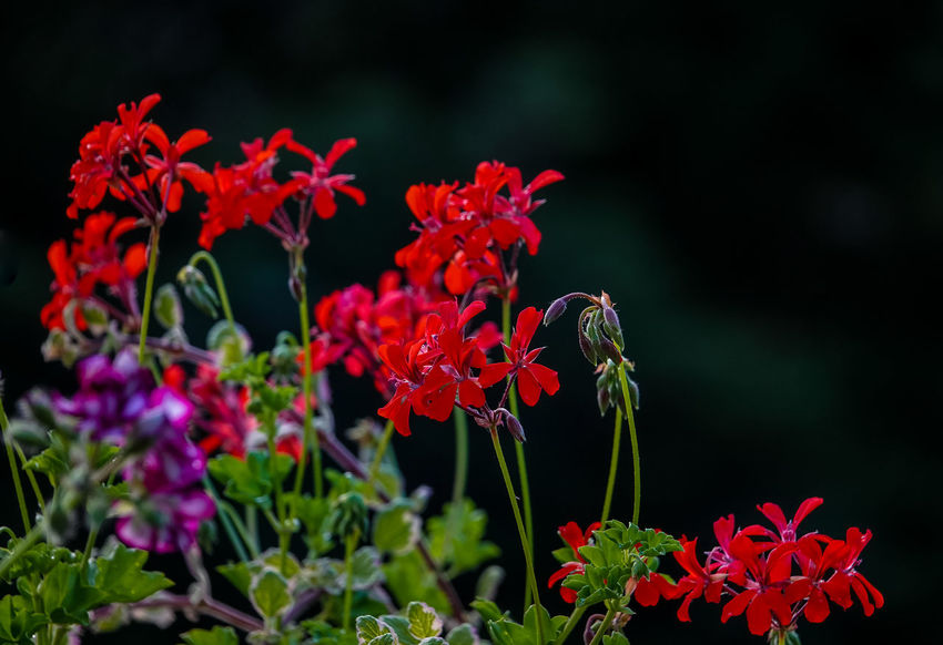 Dunkler Hintergrund Morgentau Auf Blüte Beauty In Nature Botany Close-up Day Flower Flower Head Flowering Plant Focus On Foreground Fragility Freigestellt Freshness Growth Inflorescence Nature No People Outdoors Pelargonium Flowers Petal Plant Plant Part Plant Stem Red Satte Rote Blütte Springtime Vulnerability