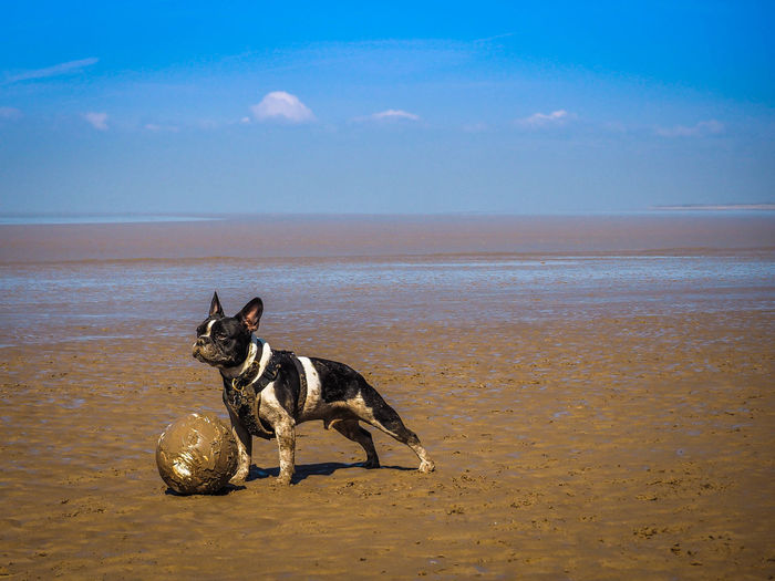 Dog playing with ball at beach