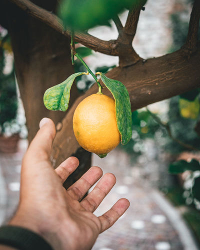 Human Hand Hand Fruit Food Healthy Eating Human Body Part Food And Drink One Person Real People Holding Personal Perspective Focus On Foreground Wellbeing Tree Freshness Citrus Fruit Plant Unrecognizable Person Day Outdoors Body Part Finger Orange Ripe