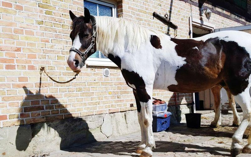Lewitzer Horse