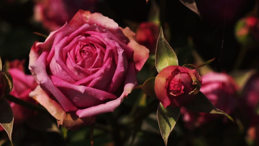 Spring Beautiful Nature Flowerlovers Flower Photography EyeEm Nature Lover EyeEm Best Shots Roses Beautiful ♥ Macro_flower Flower