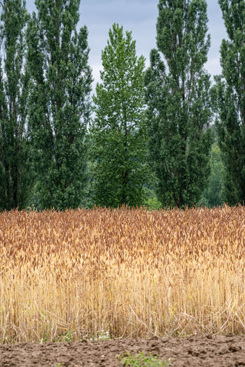 Winter Wheat Field Lwl Open Air Museum Agriculture History Wheat Field Wheat Ripe Cereal Plant Cereal Field Plant Tree Land Growth Field Landscape No People Tranquility Nature Day Rural Scene Crop  Environment Scenics - Nature Tranquil Scene Beauty In Nature Outdoors Farm Plantation