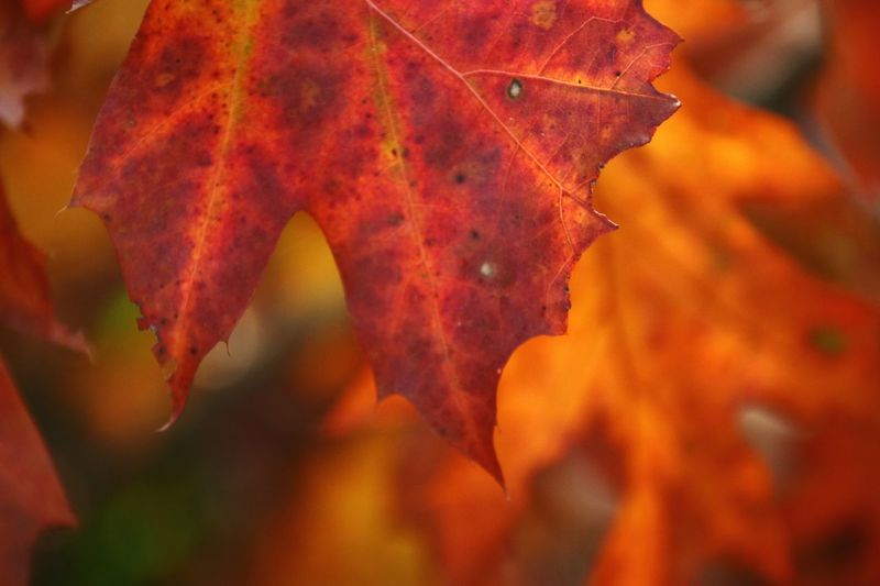 Close-Up Of Orange Maple Leaves