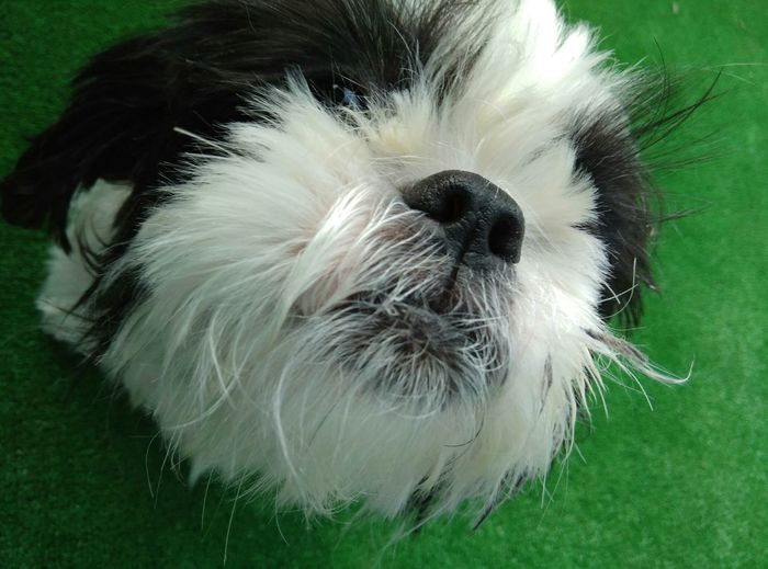 Pets Dog Domestic Animals One Animal Animal Themes Mammal Close-up No People Outdoors Shih Tzu Day