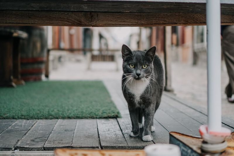 Portrait of black cat standing outdoors
