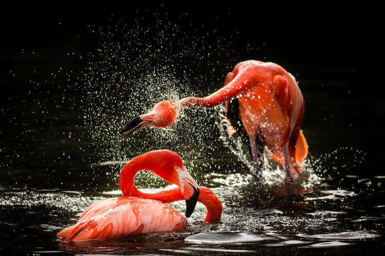 Flamingoes splashing water in lake