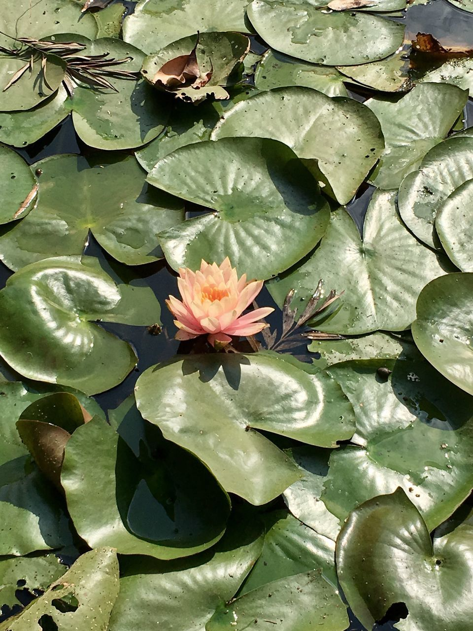 leaf, flower, growth, water lily, beauty in nature, nature, plant, lily pad, floating on water, no people, freshness, petal, water, lotus water lily, flower head, fragility, blooming, outdoors, close-up, day