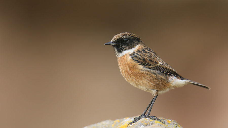 Aves Birds Of EyeEm  Brean Down Brean Down Cove Chats Animal Wildlife Animals In The Wild Beauty In Nature Bird Birds Brean Close-up Focus On Foreground Nature Outdoors Perching Songbird  Stonechat