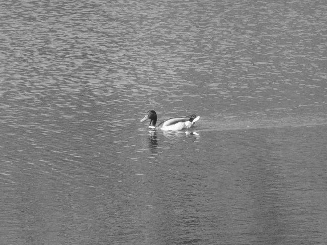 Hampstead Heath Mallard Pond Animal Animals In The Wild Beauty In Nature Bird Day Duck Lake Nature No People Outdoors Swimming Water