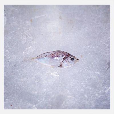 Tiny Lonley Fish On Ice