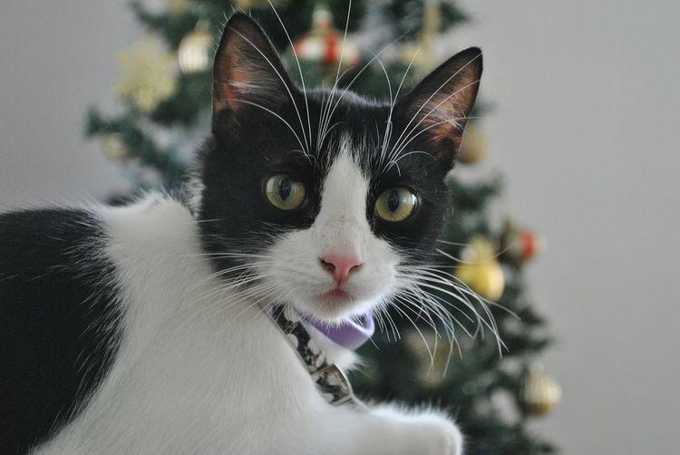 Cat Pets Looking At Camera Feline Indoors  Eyes Puertorican Cat EyeEmNewHere Nofilter