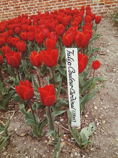 Tulipani! Colors Springtime Discovering Stefano_cenzolo England 🇬🇧 England Tulpen Tulipani Tulips🌷 Fiori Fiori ♥ Giardino Garden Flowers Audley End Audley's Castle Flower Red Communication Text Close-up Petal