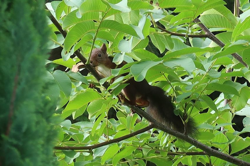 Eichhörnchen Squirrel Animal Animal Themes Animal Wildlife Leaf Animals In The Wild Plant Part One Animal Green Color Vertebrate Plant No People Nature Day Rodent Tree Squirrel Mammal Outdoors Growth Branch