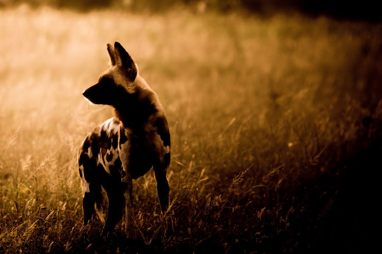 An African Wild Dog in the wild at sunset African Wildlife Wild Dog African Wild Dog Animal Themes Close-up Day Dog Field Grass Mammal Nature No People One Animal Outdoors Sunset