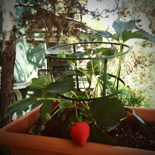 Growing🍓 First Eyeem Photo