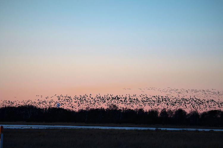 Flock of birds against sky during sunset