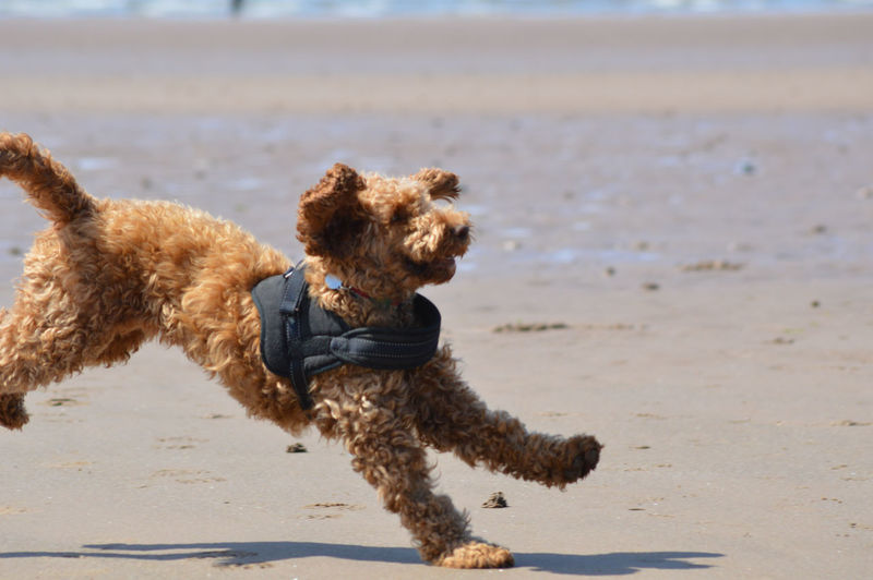 Cockapoo Animal Animal Themes Beach Brown Canine Day Dog Dog On Holiday Domestic Domestic Animals Land Mammal Motion Mouth Open No People One Animal Pets Poodle Purebred Dog Running Sand Vertebrate Water