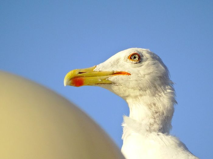 Low angle view of eagle against clear blue sky