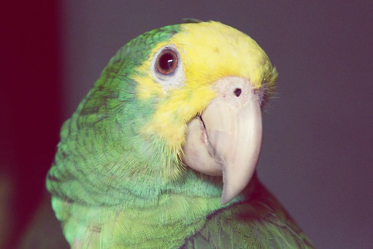Close-up of parrot indoors