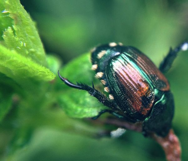 Close-up of japanese beetle on plant