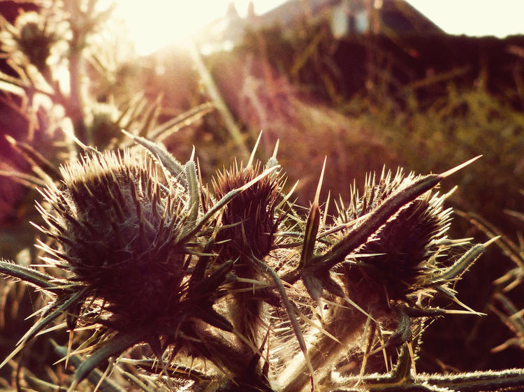 Sommergefühle Sonnenaufgang Sonnenuntergang Sträucher Abendstimmung Beauty In Nature Close-up Day Field Flower Flower Head Focus On Foreground Freshness Growth Morgen Natur Nature No People Outdoors Plant Sonne Spiked Sunlight Thistle Warm