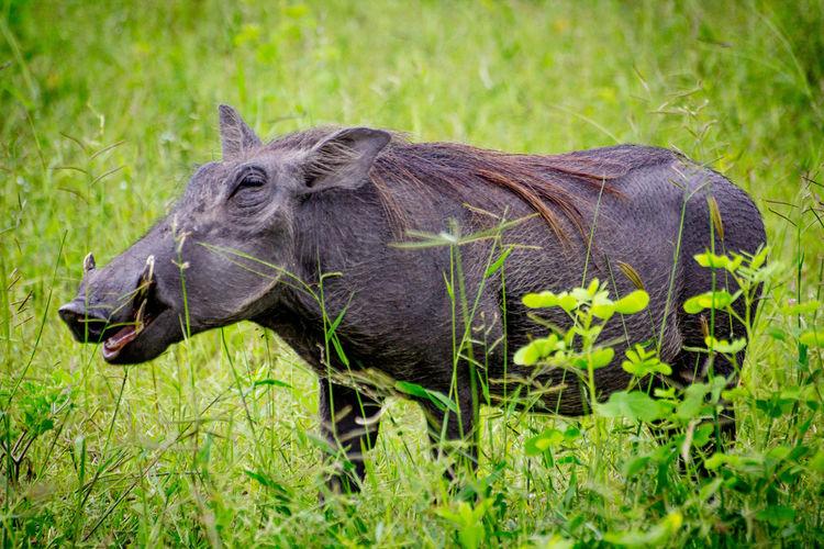 Close-up of warthog on grass