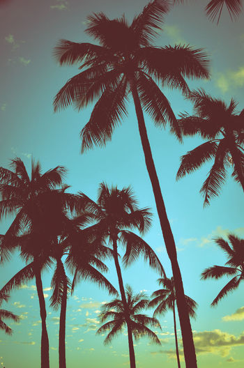 Filtered Vintage Retro Styled Palm Trees In Hawaii Exotic Hawaii Heaven Holiday Retro Summertime Tranquility Travel Waikiki Beach Califiornia Carribean Escape Ocean Palm Trees Peaceful Relaxation Summer Tourism Tropical Tropical Climate Vacation Vintage