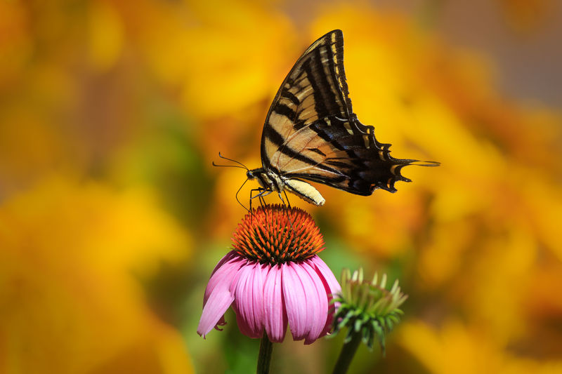 Close-Up Of Swallowtail Butterfly Pollinating On Eastern Purple Coneflower