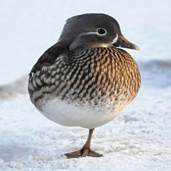 Duck Mandarin Duck Bird Animal Wildlife Winter Animals In The Wild One Animal Nature Close-up Female Duck Female Mandarin Duck Feather  No People Snow Outdoors Animal Themes