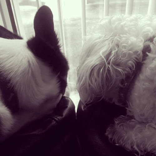 Dogs watching the rain Blackandwhite Love Collie Bordercollie  Weechon Dogs Of EyeEm