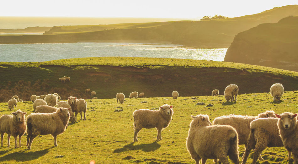 Flock of sheep standing on land by sea during sunset