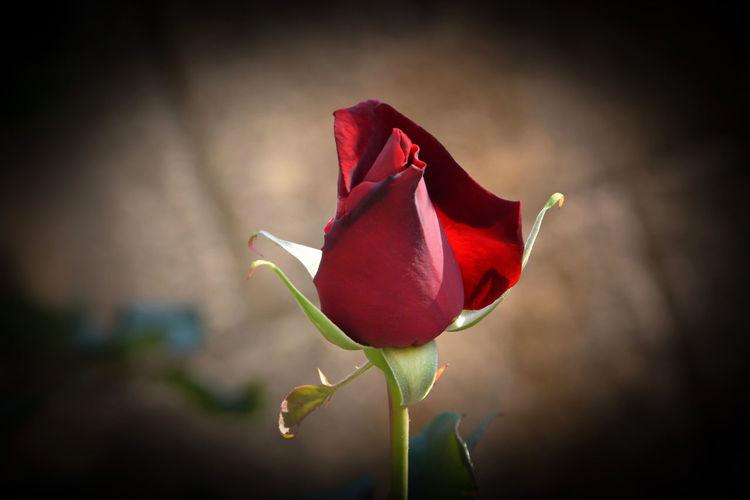 Flower Fragility Petal Beauty In Nature Rosé Close-up Rose - Flower Freshness Flower Head Nature Vignette Outdoors