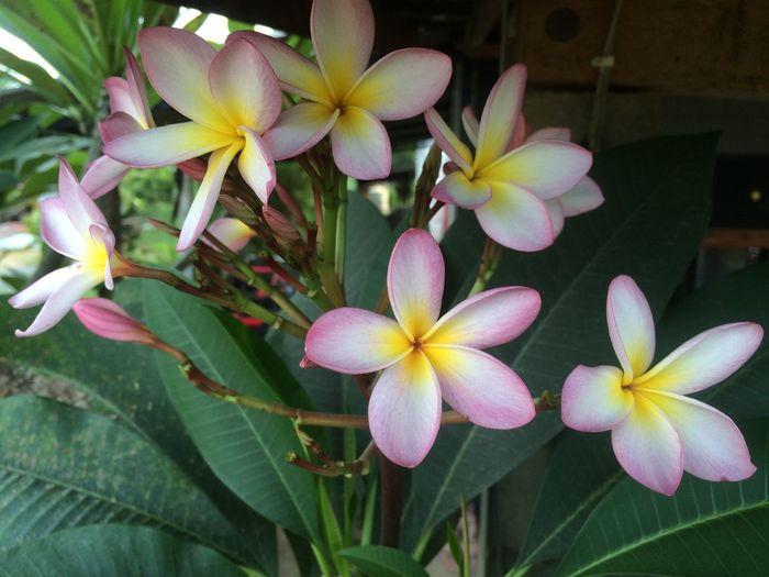 Plumeria / Name