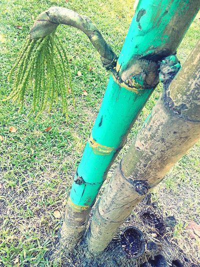 Plam Plam Tree Tree Nature Tree_collection  Nature Photography Tree Photography Color Of Nature Beauty Of Nature Colorful Nature Color Of Tree Beauty Of Tree