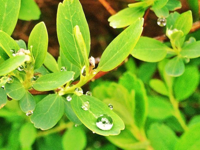 #FF #FotoFriday Para @A_Valenzuela Por Su Cumple Y Que La Ciencia Siga Siendo Algo Más Que 4 Gotas En La Radio #nature #drops #rain #plants #valledellozoya #lluvia #gotas