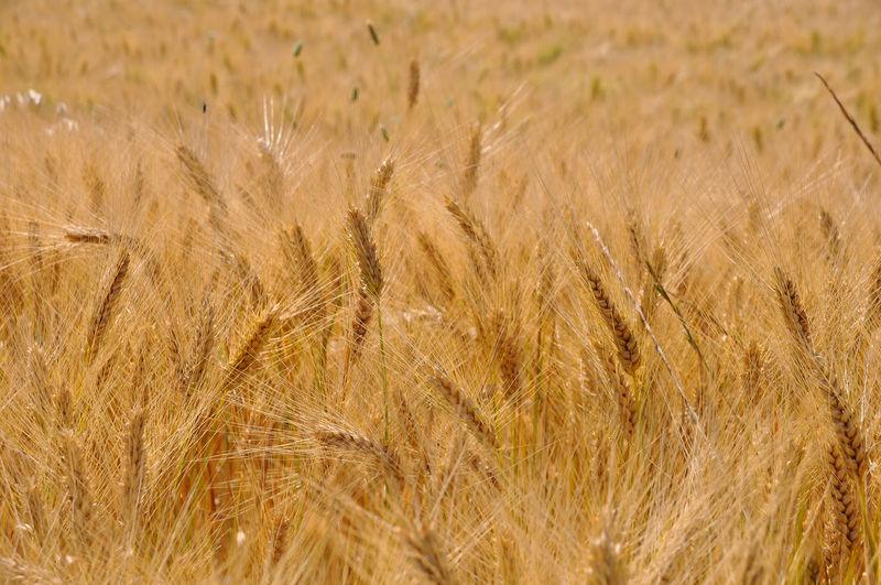Full frame shot of wheat field