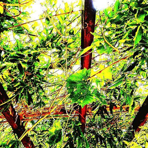 Pergola Art Green Vines Shade Summer
