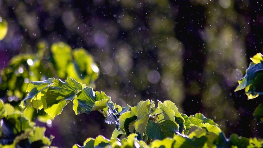 Spring shower Nature Green Color Growth Beauty In Nature Drop No People Outdoors Leaf Freshness Day Close-up Water Tree Spring Rain Rainy Days Morning Morning Light Raining Leaves Green Fresh Freshness Rainy Rainy Day TCPM The Great Outdoors - 2017 EyeEm Awards