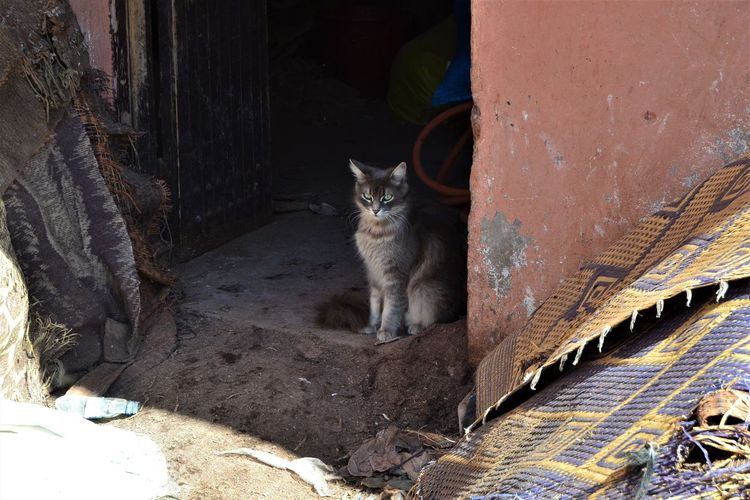 Cat sits by the doorway of the tanneries of Marrakesh, Morocco watching and waiting for something to chase. Domestic Pets Mammal Domestic Animals Domestic Cat Cat Feline One Animal Vertebrate Portrait Looking At Camera Sitting Architecture Day No People Whisker Tanneries Morocco The Art Of Street Photography My Best Photo