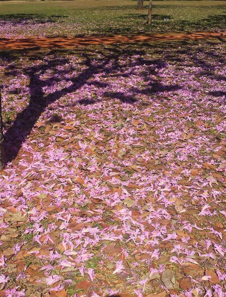 Beauty In Nature No People Day Tranquility Urban Nature Nature Tabebuia Rosea Tree Flower Shadow Ipê Iperosa Ipê Tree From Brazil