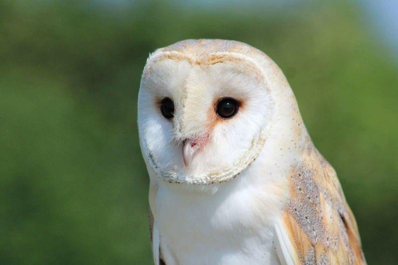 Portrait of owl looking away