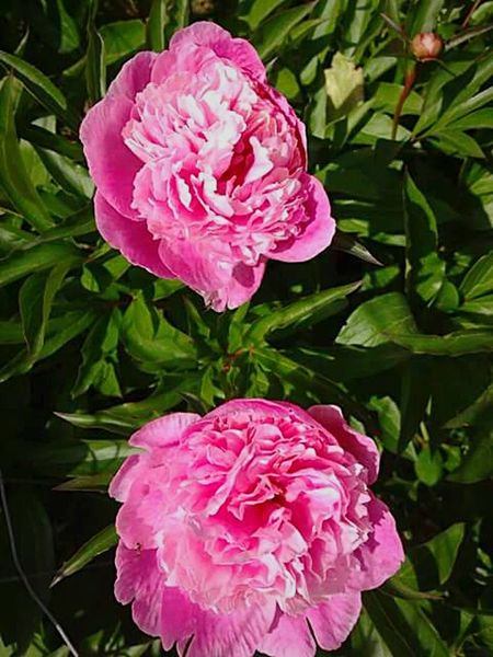 Flower Plant Petal Peony  Pink Color Nature No People Close-up Flower Head Freshness Beauty In Nature Leaf Day Water Outdoors Now We're Getting Somewhere. On The Way Getty Images For The Love Of Photography I Love Taking Pictures <3 Lifestyles Artistic Photography Artistic Perception Art Is Everywhere Backgrounds