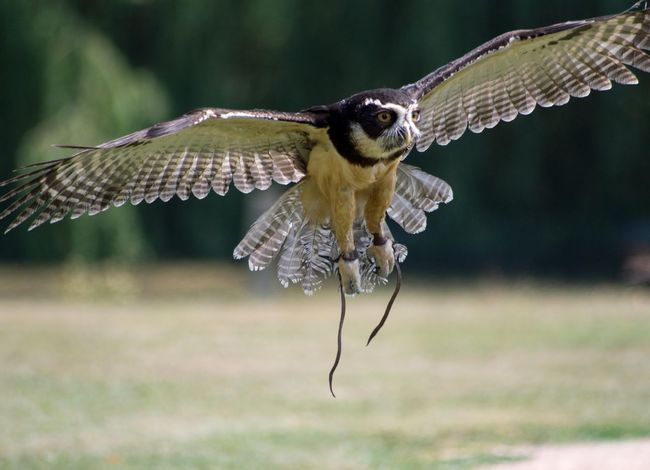 Spectacled Owl Owl EyeEm Selects Spread Wings Full Length Insect Close-up Animal Themes Animal Wing Bird Of Prey